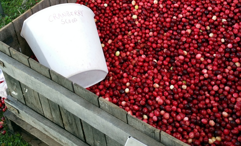 Cranberries at Meadowbrook Family Farm